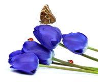 Tulipanes azules frescos Fotos de archivo
