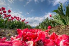 Tulipanes bajos de la perspectiva Fotografía de archivo libre de regalías