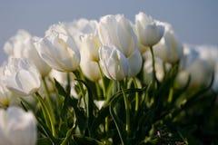 Tulipanes blancos Imagenes de archivo