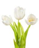 Tulipanes blancos Fotografía de archivo libre de regalías