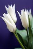 Tulipanes blancos Imagen de archivo libre de regalías