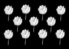 Tulipanes blancos Fotos de archivo libres de regalías