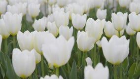 Tulipanes blancos al aire libre en luz suave Izquierdo--righ al movimiento almacen de metraje de vídeo