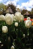 Tulipanes blancos con algunos edificios holandeses típicos como fondo Imagen de archivo