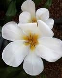 Tulipanes blancos con sus pétalos abiertos hasta el final Fotos de archivo