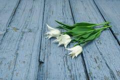 Tulipanes blancos en el fondo de madera, Pascua, el día del ` s de la madre Imagenes de archivo