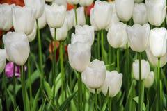 Tulipanes blancos en el jardín Fotografía de archivo