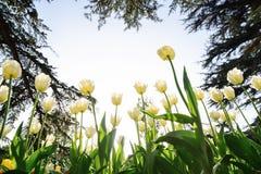 Tulipanes blancos en el parque bajo rayos del sol de la tarde Bott Imagen de archivo