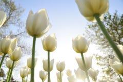 Tulipanes blancos en el parque bajo rayos del sol de la tarde Bott Fotos de archivo libres de regalías