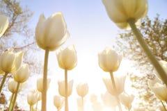 Tulipanes blancos en el parque bajo rayos del sol de la tarde Bott Fotos de archivo
