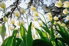 Tulipanes blancos en el parque bajo rayos del sol de la tarde Bott Imagenes de archivo