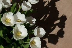 Tulipanes blancos en el sol Fotos de archivo libres de regalías