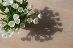Tulipanes blancos en el sol Imagen de archivo libre de regalías