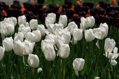 Tulipanes blancos en jardín Imágenes de archivo libres de regalías