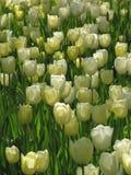 Tulipanes blancos en la iluminación de la puesta del sol fotos de archivo