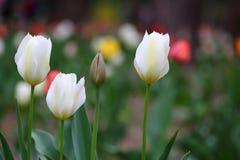Tulipanes blancos en primavera Imagen de archivo