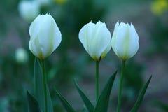 Tulipanes blancos en primavera Fotos de archivo libres de regalías