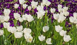 Tulipanes blancos en primavera Foto de archivo