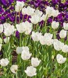 Tulipanes blancos en primavera Imagenes de archivo