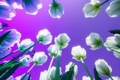 Tulipanes blancos en un fondo de neón Tendencia del a?o fotografía de archivo libre de regalías