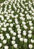 Tulipanes blancos florecientes Fotografía de archivo
