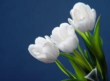 Tulipanes blancos hermosos fotos de archivo libres de regalías