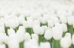 Tulipanes blancos hermosos Imágenes de archivo libres de regalías