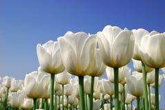 Tulipanes blancos puros Imagen de archivo libre de regalías