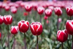 Tulipanes blancos rojos Foto de archivo libre de regalías