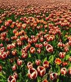 Tulipanes blancos rojos en el campo Zeewolde fotos de archivo