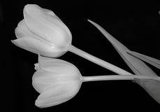 Tulipanes blancos y negros imagen de archivo