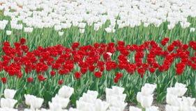 Tulipanes blancos y rojos Foto de archivo