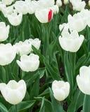 Tulipanes blancos y uno de ellos con el solo pétalo rojo Foto de archivo