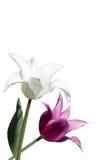 Tulipanes blancos y violetas en el fondo blanco Foto de archivo