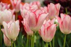 Tulipanes bonitos en el jardín Fotografía de archivo
