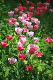 Tulipanes brillantes Foto de archivo