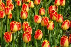 Tulipanes brillantes Foto de archivo libre de regalías