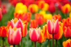 Tulipanes brillantes del resorte Fotos de archivo libres de regalías
