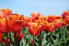 Tulipanes brillantes y cielos azules Imágenes de archivo libres de regalías