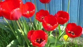 Tulipanes caseros rojos en una cama del pedazo en un día de primavera soleado 4K metrajes