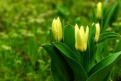 Tulipanes cercanos del amarillo de la visión con el fondo verde Foto de archivo libre de regalías