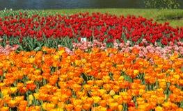 Tulipanes, charca - primavera Imagen de archivo