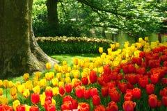 Tulipanes clásicos del estilo Fotografía de archivo libre de regalías