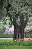 Tulipanes, clavo y árbol de ciprés viejo Foto de archivo libre de regalías