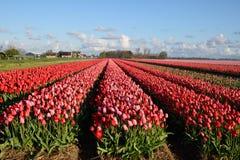 Tulipanes color de rosa hermosos en Países Bajos Imagen de archivo