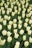 Tulipanes color nata en Keukenhoff, Países Bajos imagenes de archivo