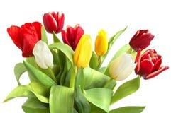 Tulipanes coloreados Imagenes de archivo