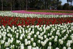 Tulipanes coloreados Imágenes de archivo libres de regalías