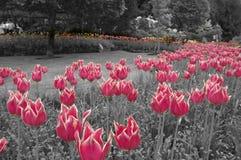 Tulipanes coloreados Imagen de archivo libre de regalías