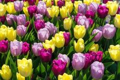 Tulipanes coloreados en el sol Foto de archivo libre de regalías